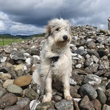 Falkor (Romanian Mioritic Shepherd Dog)