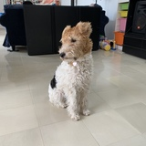 Milou (Fox Terrier De Pelo Duro)