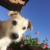 Billy (Parson Russell Terrier)
