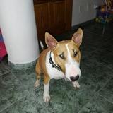 Bella Gálvez Casañ  (Bull Terrier)