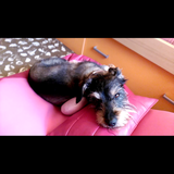 Zizou (Schnauzer Miniatura)
