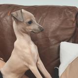 Bean (Italian Greyhound)