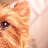 Tequila - Yorkshire Terrier