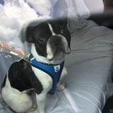 RAYKO - Bulldog Francés