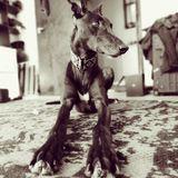 Anubi (Greyhound)