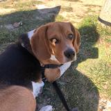 Elah - Beagle