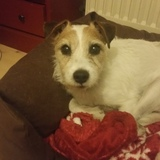 Puck (Parson Russell Terrier)