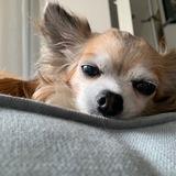 Honey  - Chihuahua