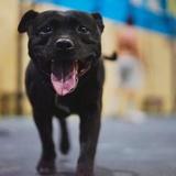 Sayco (Staffordshire Bull Terrier)