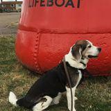 Monty (Beagle)