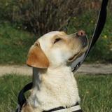 Mila (Labrador Retriever)