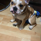 Rocky (English Bulldog)