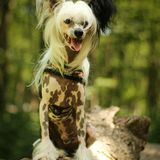 Elvis (Chinese Crested Dog)