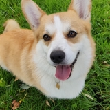 Buzz - Welsh Corgi Pembroke