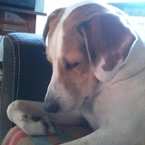 Ricco ( Beagle Harrier)