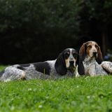 Gabo (Black and Tan Coonhound)