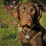 Brodie - Labrador Retriever
