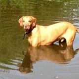 Baxter (Vizsla)