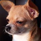 Mini (Chihuahua)