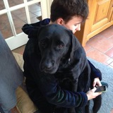 Archie (Labrador Retriever)