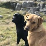 Flo (Labrador Retriever)