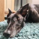 Scout  (Greyhound)