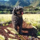 Dior (Spanish Water Dog)