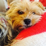 Iana (Yorkshire Terrier)