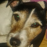Bruce (Jack Russell Terrier)