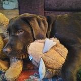 Georgie (Labrador Retriever)