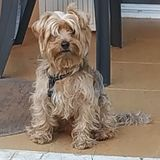 Freddy (Yorkshire Terrier)