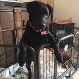 Matilda (Tilly) (Labrador Retriever)