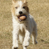 Archie (Parson Russell Terrier)
