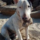 Shiro  (Bull Terrier)