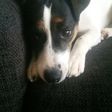 Fee (Parson Russell Terrier)