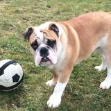 Ciccio (Englische Bulldogge)