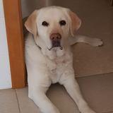 Bepo - Labrador Retriever