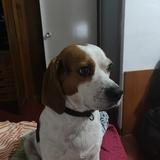 Marcos - Beagle