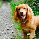 Tula (Nova Scotia Duck Tolling Retriever)
