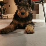 Cyrano - Airedale Terrier