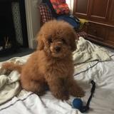 Chulainn  (Toy Poodle)