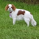Bella  (Cavalier King Charles Spaniel)