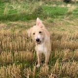 Archie (Bedlington Terrier)