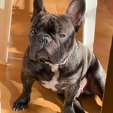 Thor - Bulldog Francés