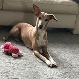 Debby (Pharaonenhund)