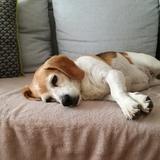 Jude - Beagle