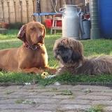 Maya Und Paula (Kurzhaariger Ungarischer Vorstehhund)