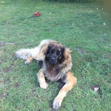 Chewee  (Leonberger)