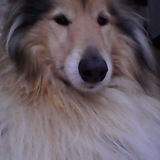 sammie - Rough Collie
