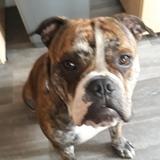 Zack  - English Bulldog